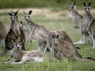 Kangaroo mob3